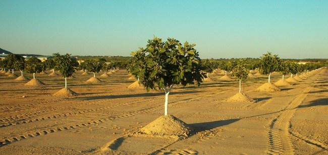 plantones_higueras_almoharin