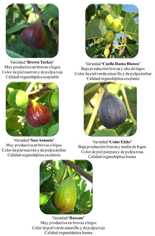 variedades higos
