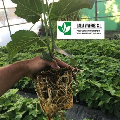 2-planta-de-higuera-en-invernadero