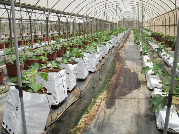 cultivo-hidropc3b3nico-e-intensivo-de-higueras-en-paiporta